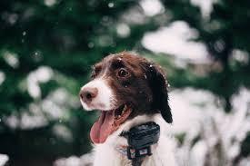 brittany-gun-dog