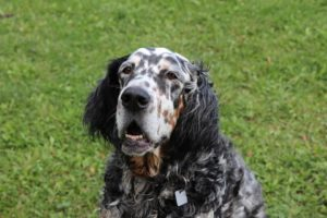 english-setter-dog-perfect-for-hunting