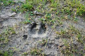 deer-tracks-scouting-deer